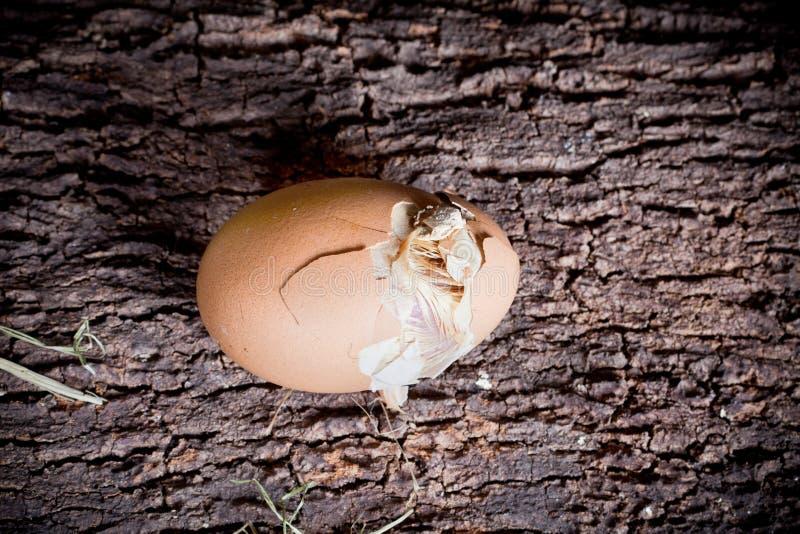Huevo para incubar fotos de archivo