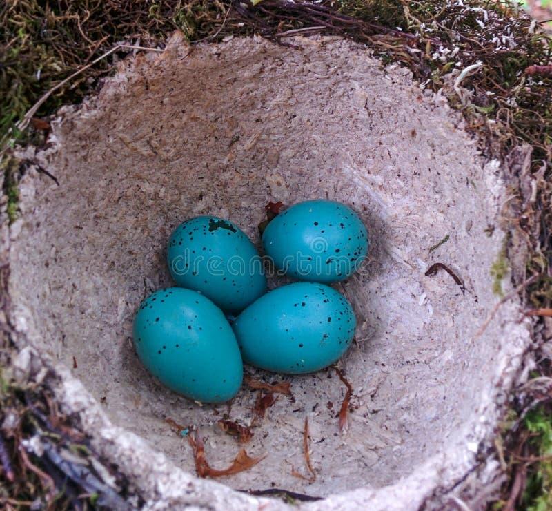 Huevos azules en una jerarquía foto de archivo