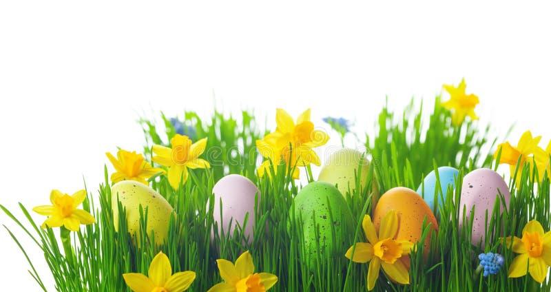 Huevos coloridos de Pascua con hierba verde y flores de daffodil sobre fondo blanco imagen de archivo