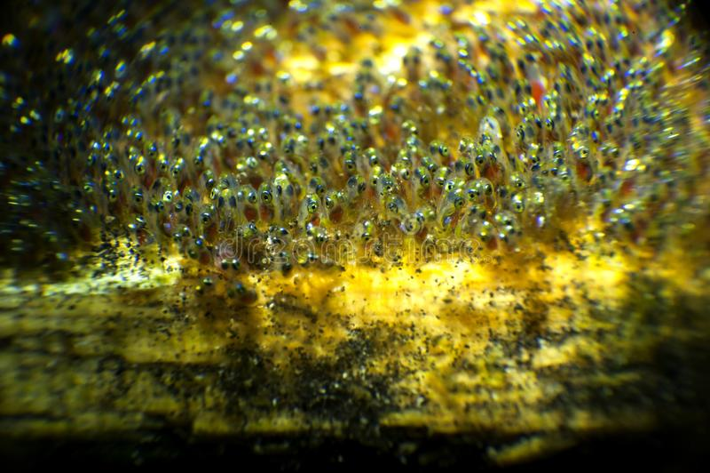 Huevos de Nemo imagen de archivo