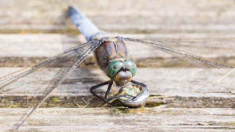 Huevos de protección de la libélula azul imagenes de archivo