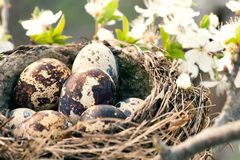 Huevos de Qail en jerarquía fotos de archivo libres de regalías