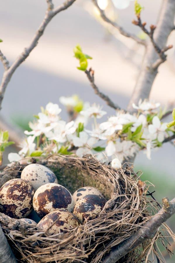 Huevos de Qail en jerarquía imagen de archivo