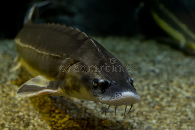 Huevos del caviar de los pescados del esturión fotografía de archivo libre de regalías