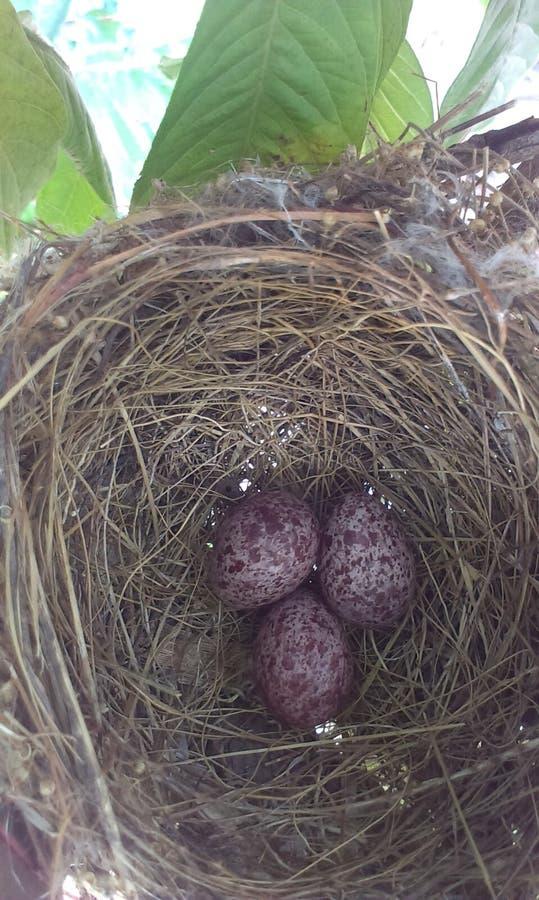 Huevos del pájaro fotografía de archivo libre de regalías