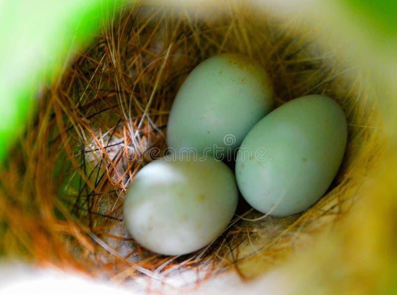 Huevos naturales de los pájaros en jerarquía fotos de archivo