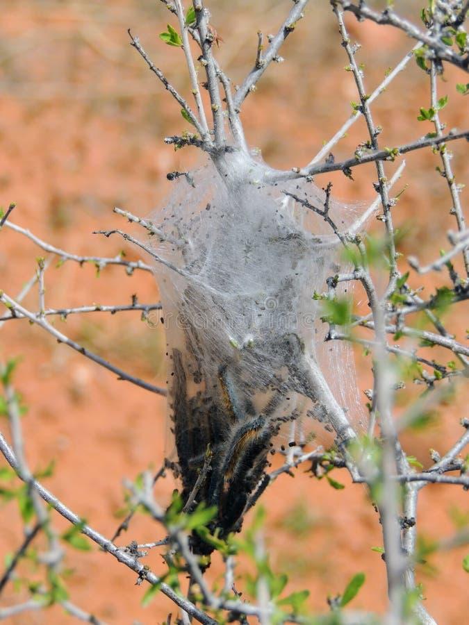 Huevos y larvas maduras, orugas de tienda occidentales que son moderado orugas clasificadas, o larvas de la polilla, género Malac fotografía de archivo