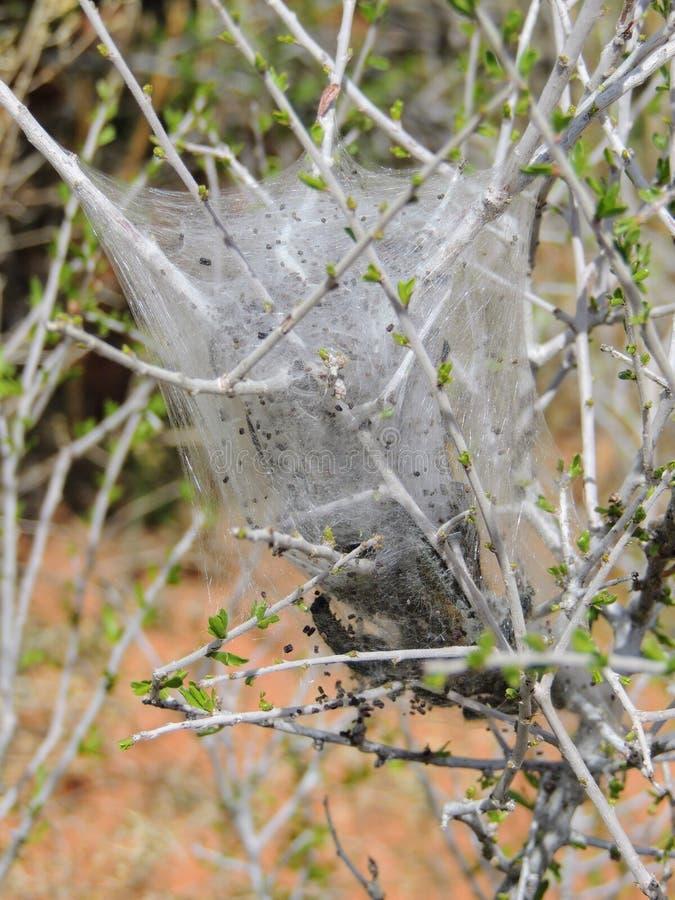 Huevos y larvas maduras, orugas de tienda occidentales que son moderado orugas clasificadas, o larvas de la polilla, género Malac foto de archivo libre de regalías
