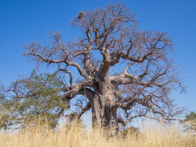 Huge African baobab tree growing on Kukonje Island in Botswana, Southern Africa royalty free stock images