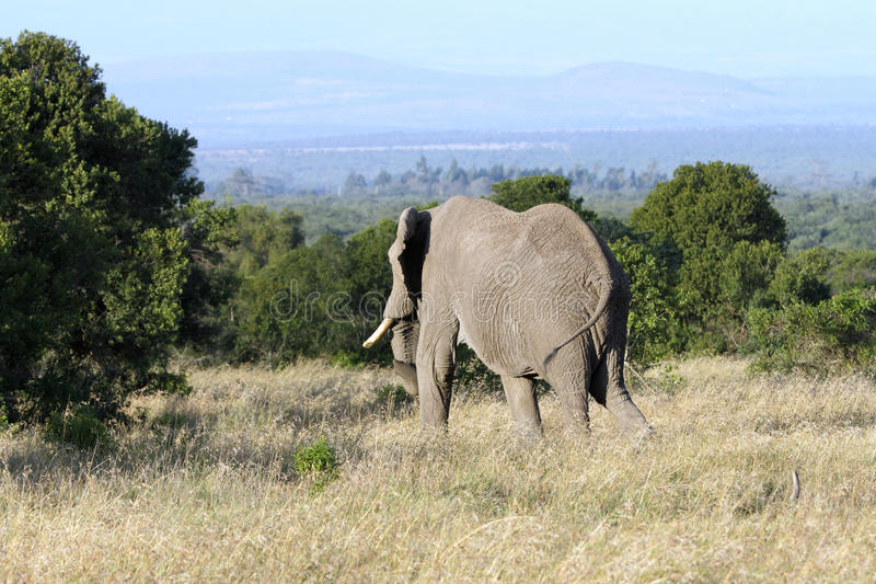 A huge African elephant moving in the forest royalty free stock photo
