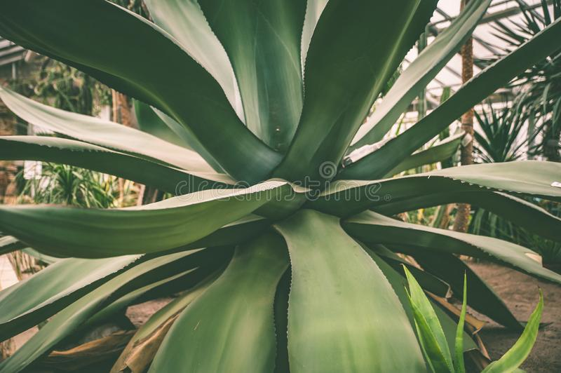 Huge agave close-up in the Botanical garden. Greenhouse stock photos