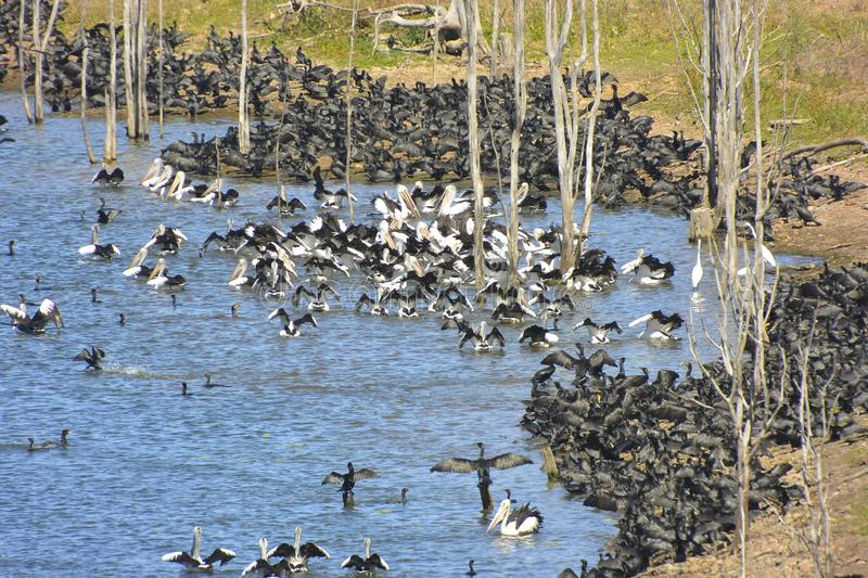 Huge aggregation of flocking waterbirds. Lake Wivenhoe, Queensland, Australia: Huge aggregation of flocking waterbirds - mainly little black cormorants and stock photos