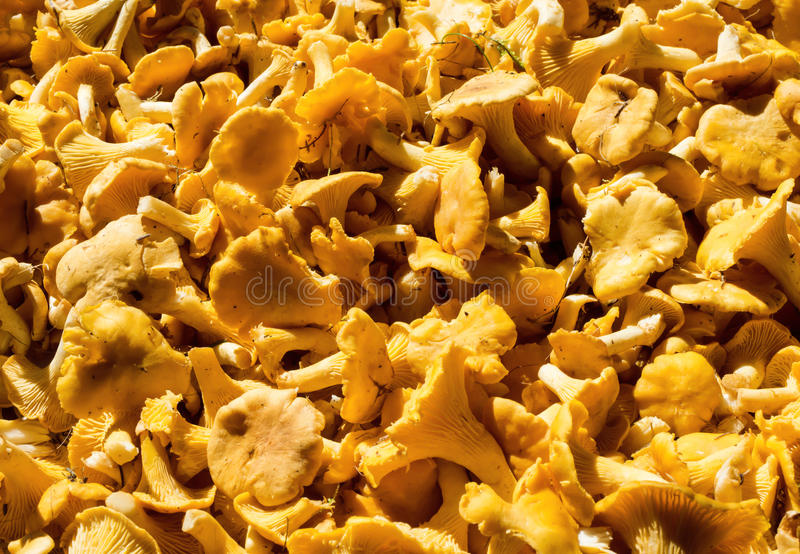 Huge amount of golden chanterelles. Cantharellus cibarius. A lot of freshly picked golden chanterelles. Cantharellus cibarius royalty free stock photo