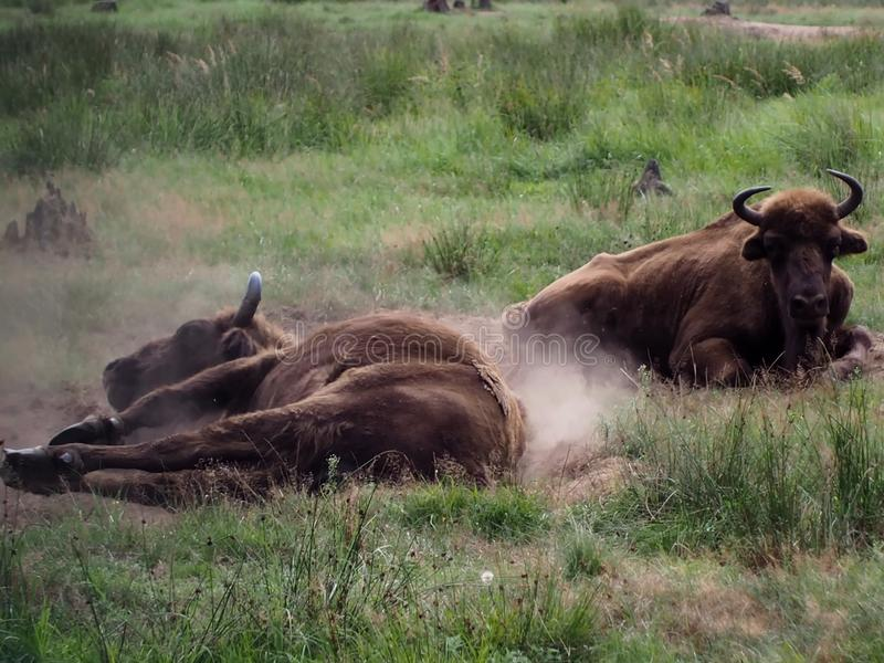 Bison on vacation bathe in the dust of the horn is always ready not to come close royalty free stock photo