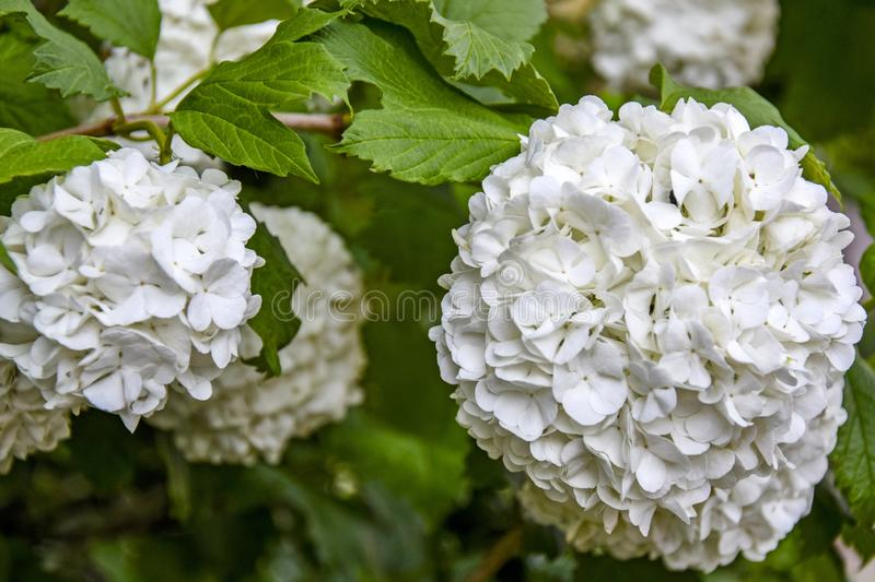 Huge balls of inflorescences of white garden hydrangea. Beautiful hydrangea flowers were introduced to Europe at the beginning of. The 14th century. Close-up stock photo