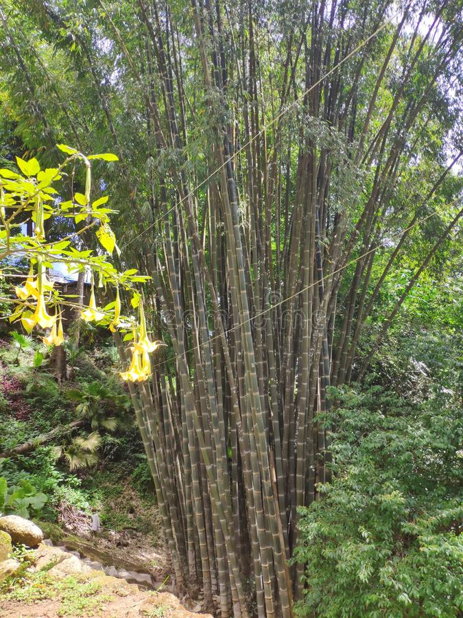 Huge Bamboo in Chiang Mai, Thailand royalty-vrije stock foto's