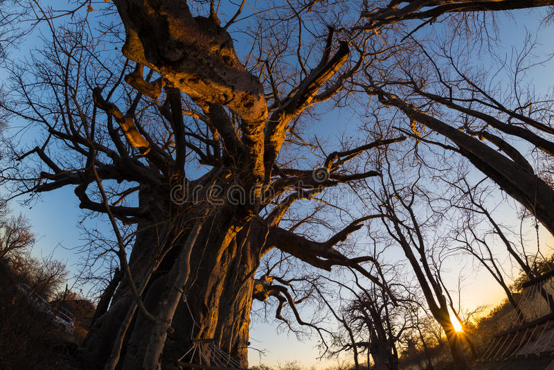 Huge Baobab plant in the african savannah with clear blue sky and sun star at sunset. Fisheye view from below. Botswana, one of th stock image