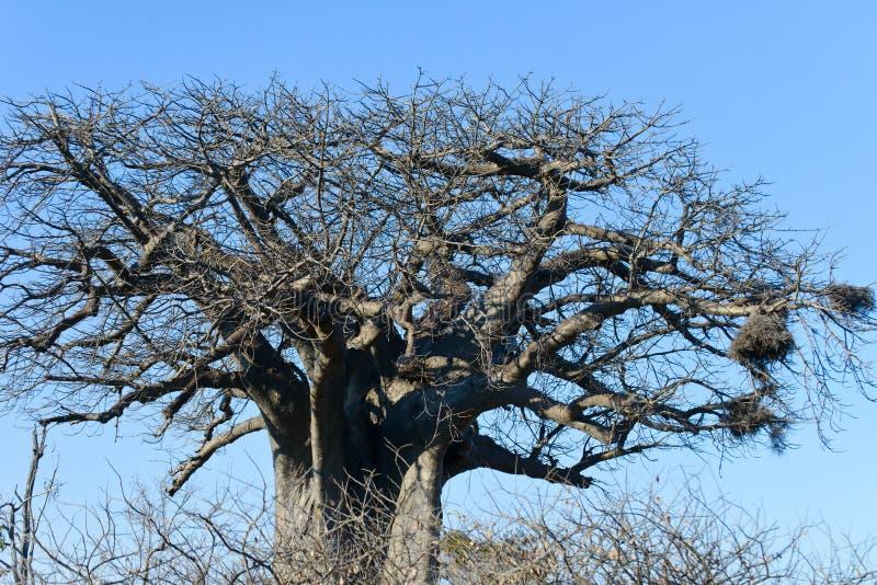 A huge bare baobab stock images