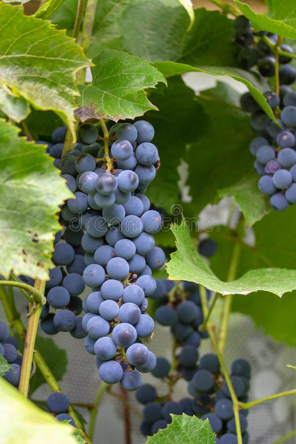 A huge beautiful bunch of juicy and ripe Isabella grapes royalty free stock images