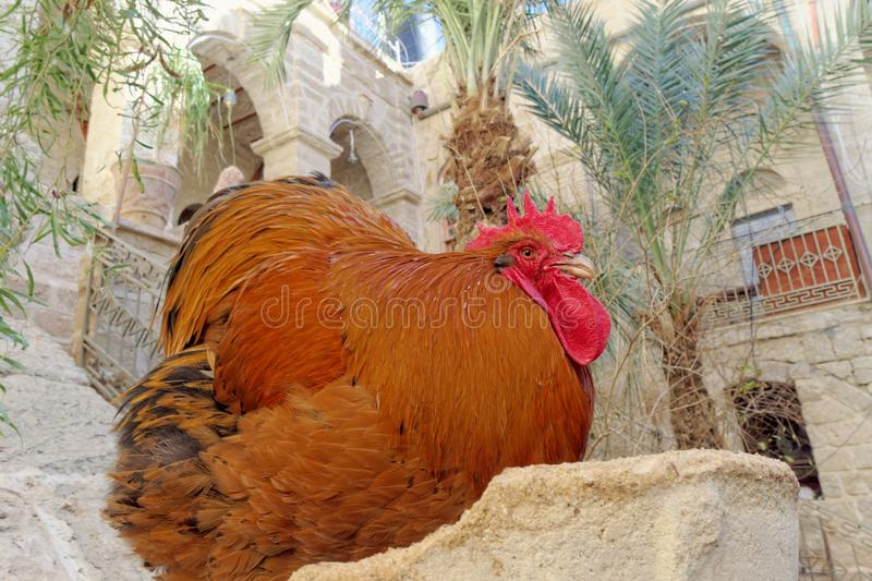 Huge beefy copper color with a bright red crest and beard sitting in a stone pillar. The rooster looks with a haughty glance at the people from the top down royalty free stock photography