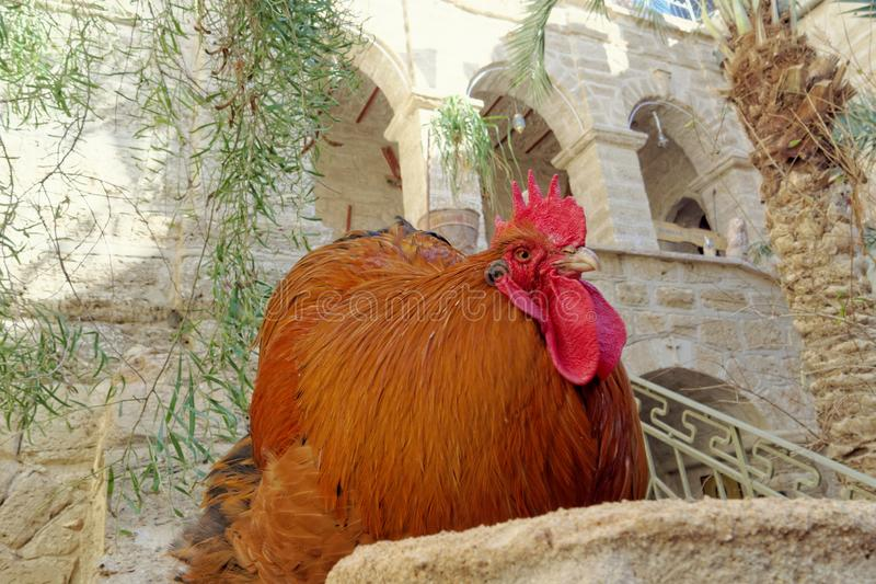 Huge beefy copper color with a bright red crest and beard sitting in a stone pillar. The rooster looks with a haughty glance at the people from the top down stock images