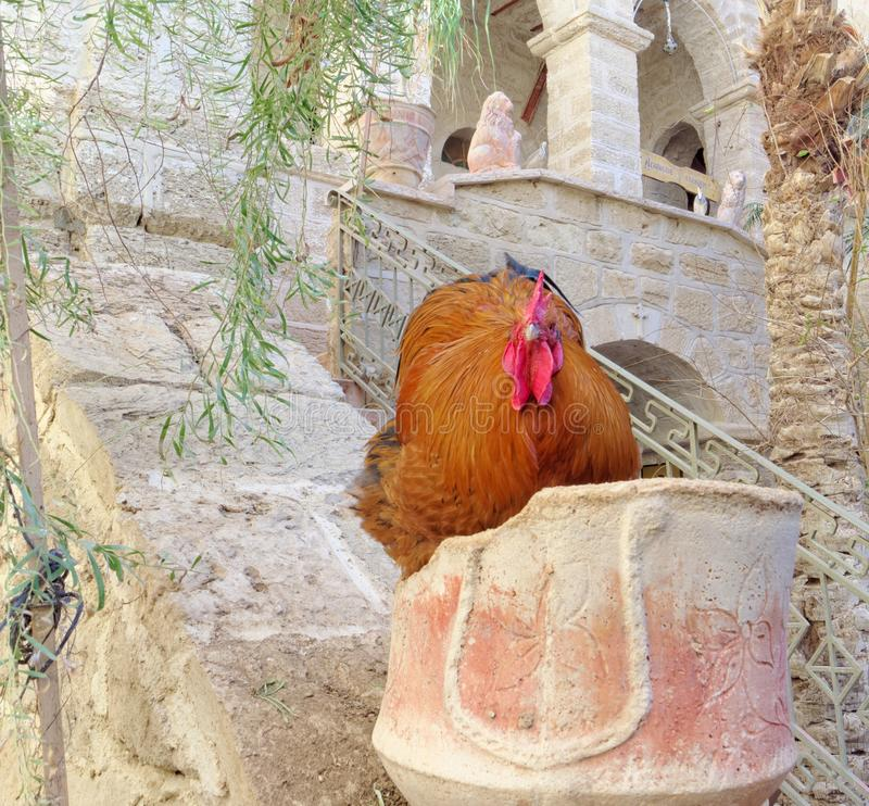 Huge beefy copper color with a bright red crest and beard sitting in a stone pillar. The rooster looks with a haughty glance at the people from the top down stock image