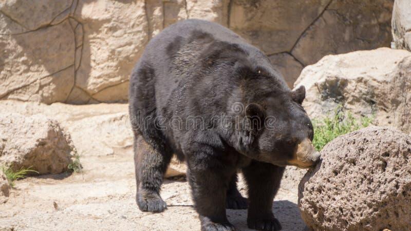 huge black bear walking stock images
