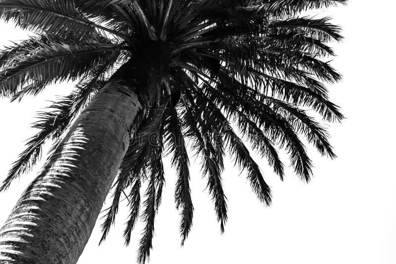 Black palm tree against white background stock image