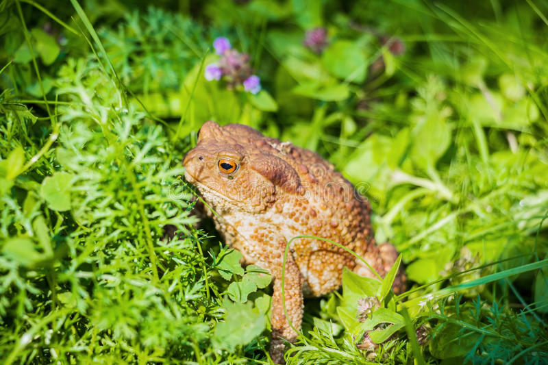 Huge brown toad with mottled skin sits in grass in garden. Closeup stock image