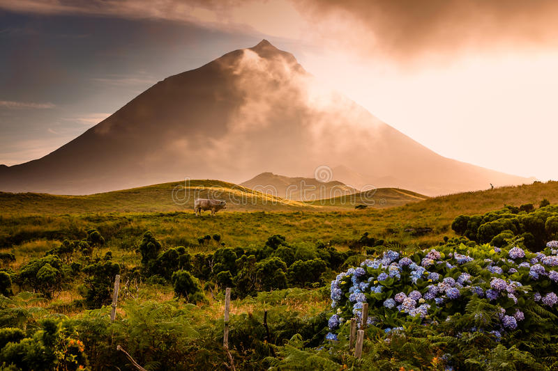 Huge bull in front of volcano Pico-Azores stock image