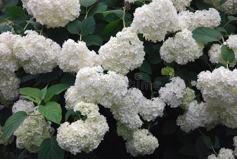 Huge bush of blooming white green hydrangea flowers in summer garden. Selective focus royalty free stock image