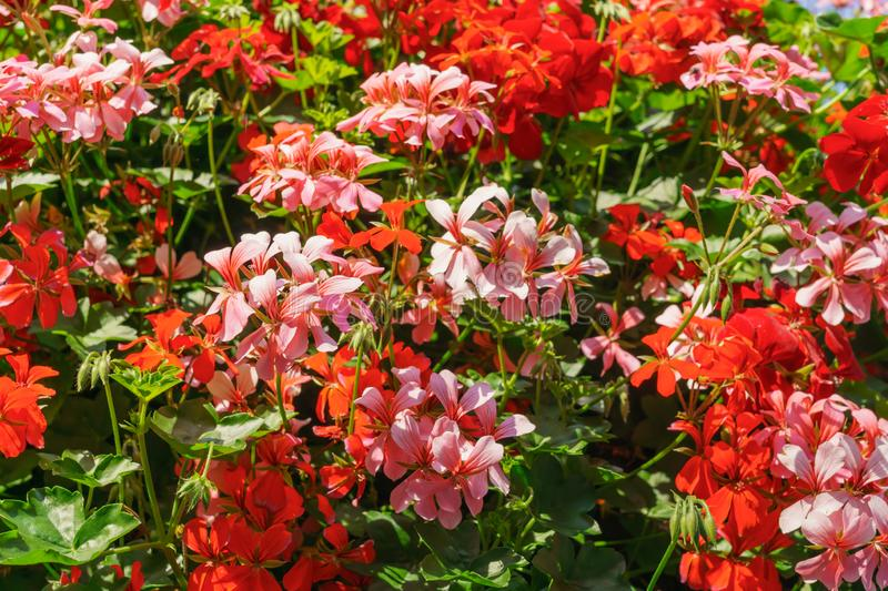 A huge bush of geranium planted in pots on a pole.The decoration of the city.Gardening stock image