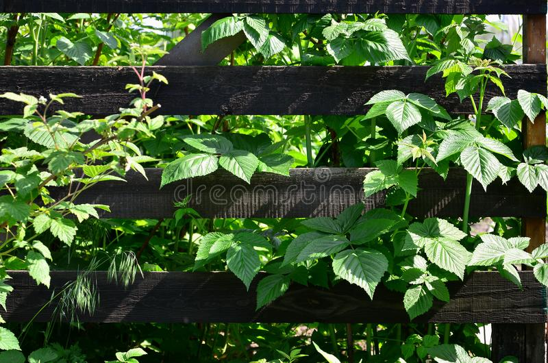 A huge bush of raspberry grows next to the wooden fence of the village garden. Background image associated with seasonal harves. T royalty free stock photos