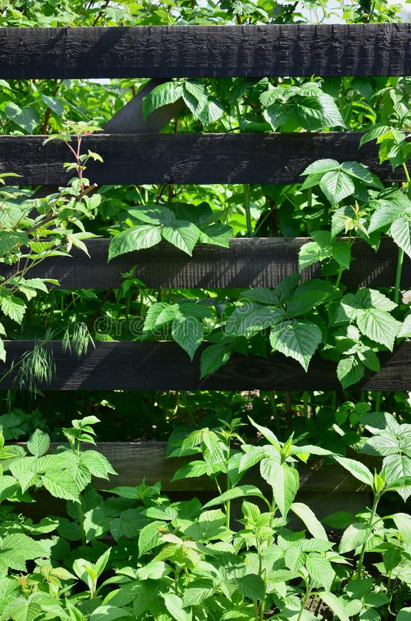 A huge bush of raspberry grows next to the wooden fence of the village garden. Background image associated with seasonal harves. T royalty free stock photography