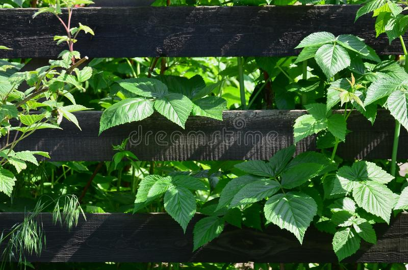 A huge bush of raspberry grows next to the wooden fence of the village garden. Background image associated with seasonal harves. T royalty free stock image