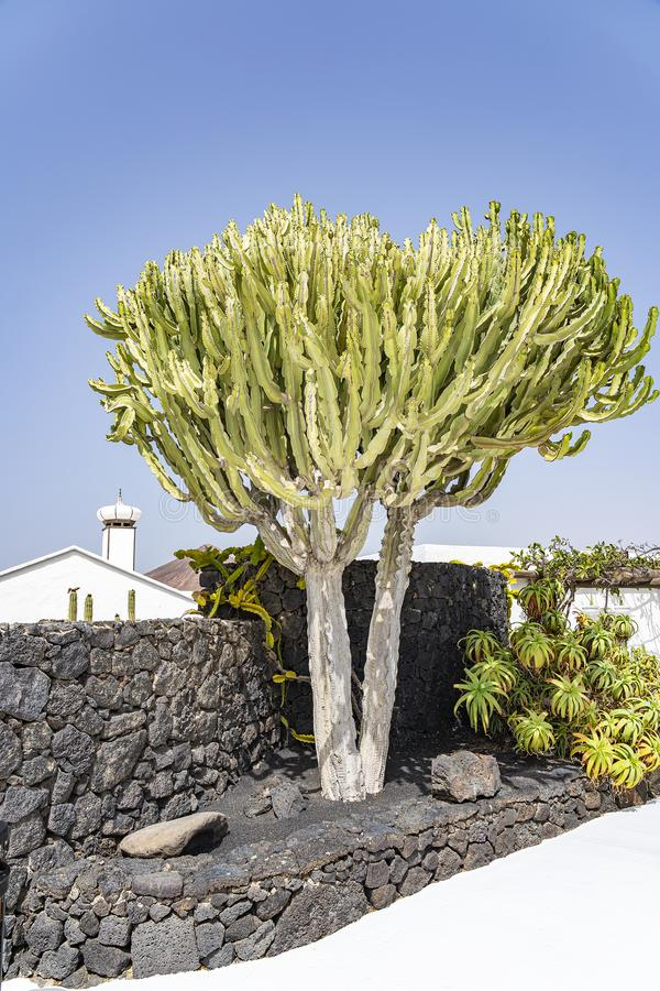 A huge cactus near a wall of black lava rocks in front of a white building on the island of Lanzarote, Spain stock image