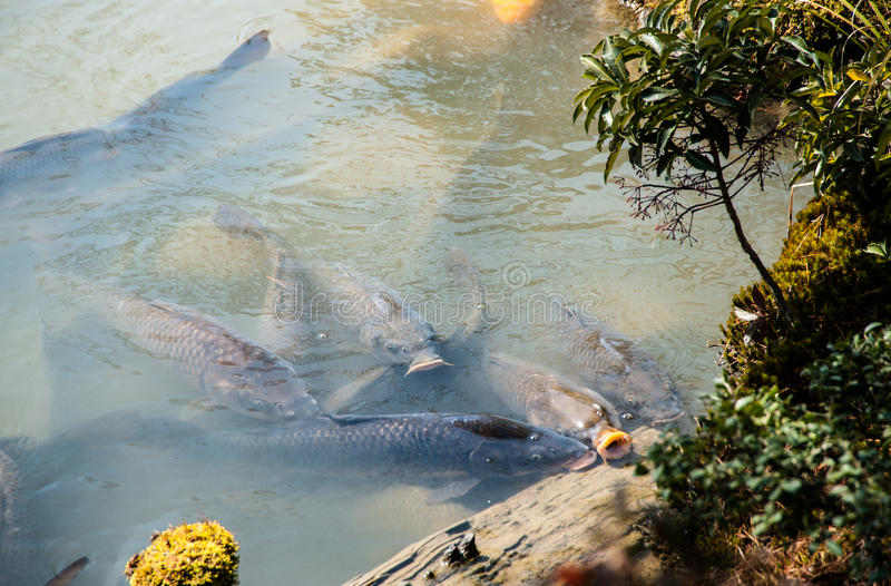 Huge carps waiting for feeding time stock photos