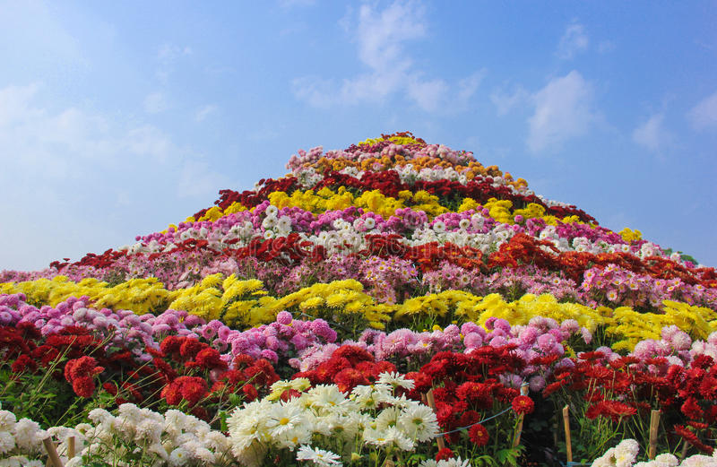 Huge Chrysanthemum flower Arrangement Chandigarh Flower Festival. Chrysanthemum Show at city beautiful Chandigarh for the year 2016 at Sector 33 Terraced Garden stock photography