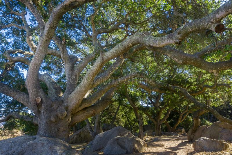 Huge Coastal live oak Quercus agrifolia stretching its branches over the trail, San Luis Obispo, California royalty free stock image