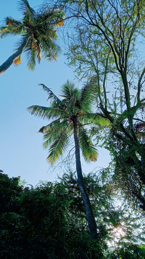 A huge coconut tree s. Howing royalty free stock photos
