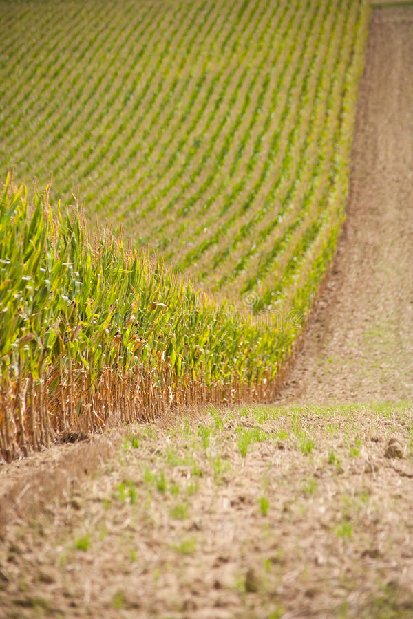 Download Huge cornfield stock photo. Image of cornfield, country - 14270416