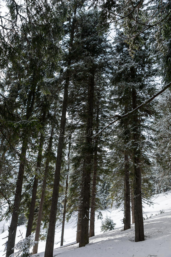 Huge covered snow trees in the forest. In winter period stock photography