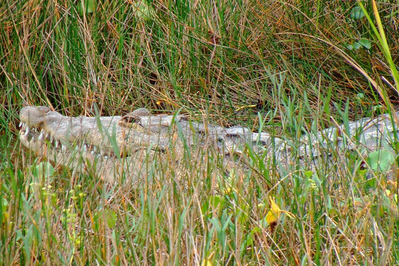 Download Huge Crocodile Hiding In The Grass Royalty Free Stock Images - Image: 21334049