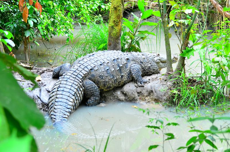 Enormous crocodile Belize Zoo royalty free stock images