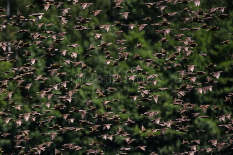 Huge crowd of common starling birds flying. Over field at countryside stock photography