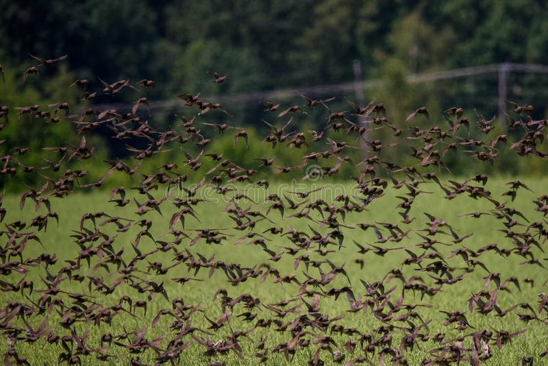 Huge crowd of common starling birds flyinge crowd of common starling birds flying. Huge crowd of common starling birds flying over field at countryside royalty free stock photography