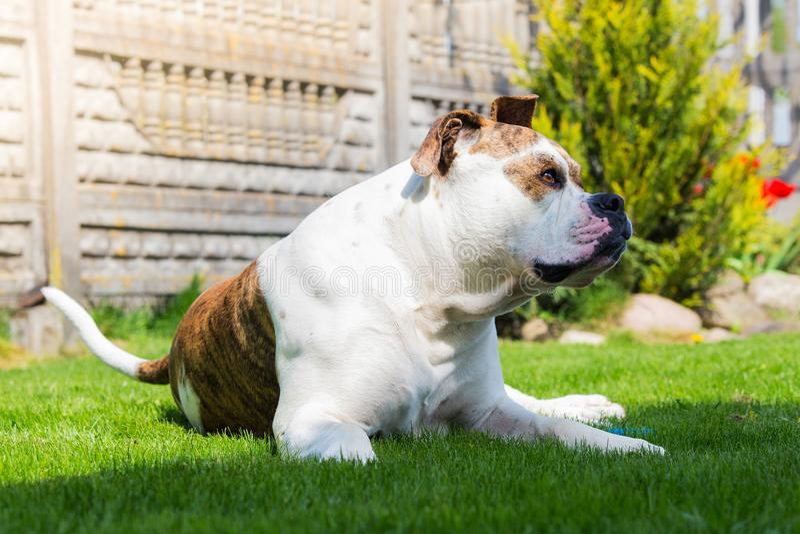 Huge dog guarding house. American bulldog on backyard. royalty free stock photography