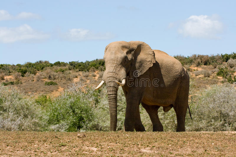 Download Huge elephant stock photo. Image of male, reserve, ears - 11156418