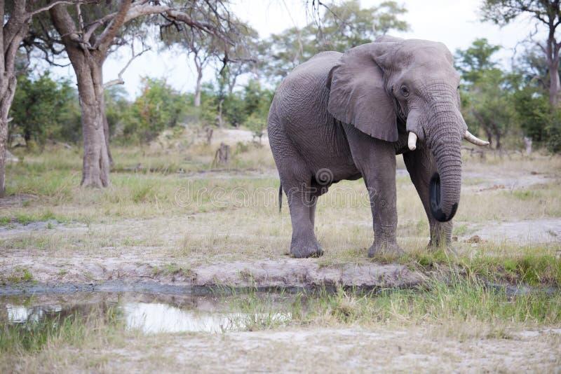 Huge elephant bull stock photography