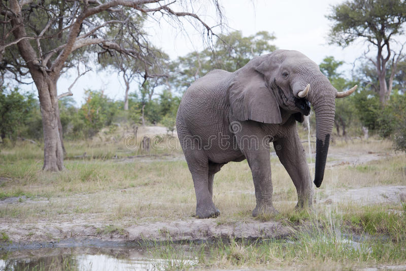 Huge elephant bull royalty free stock images